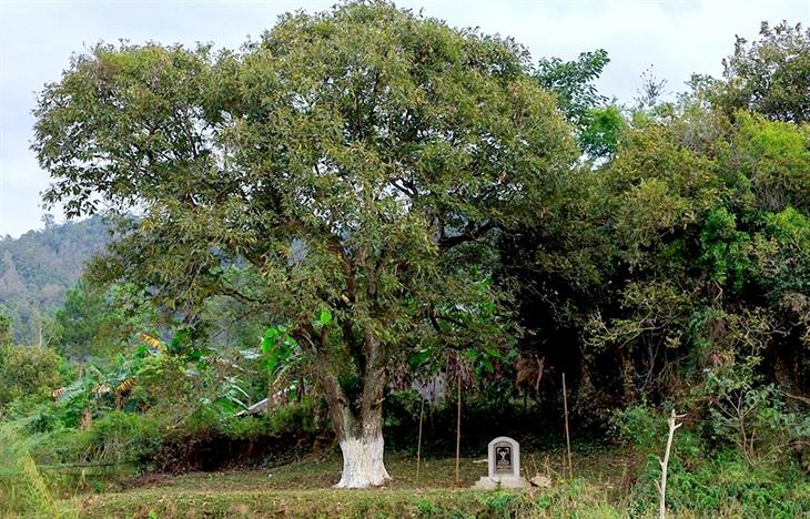 Độc đáo cây dẻ cổ thụhơn 120 năm tuổi