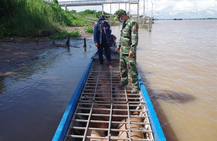 BĐBP Đồng Tháp bắt giữ 1,5 tấn lợn nhập lậu qua biên giới