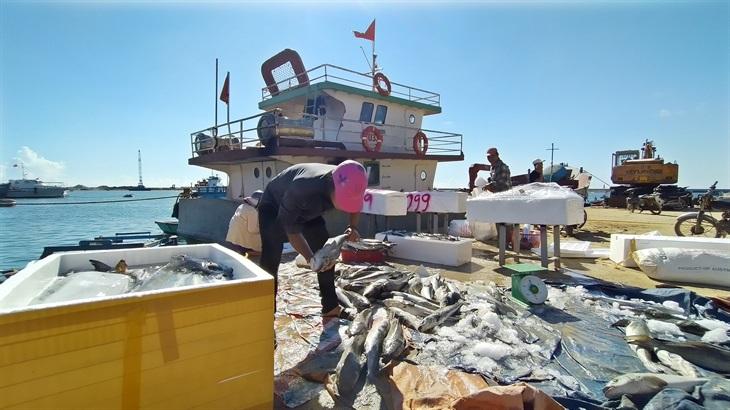 Cá bớp nuôi ở Lý Sơn chết hàng loạt do thời tiết