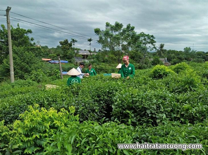 Ông Nguyễn Chí Hải - CEO Hải Trà Tân Cương chia sẻ về trà sạch