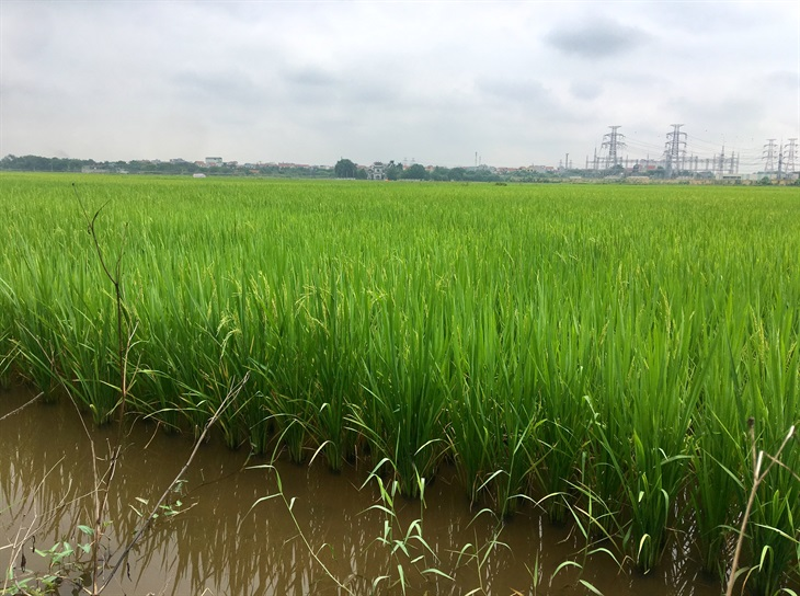 9 giống lúa thơm xuất khẩu sang châu Âu được hưởng hạn ngạch về thuế quan