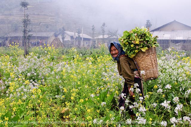 Mùa của hoa cải