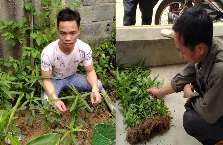 Xử lý các đối tượng trồng cây cần sa trái phép trong vườn nhà