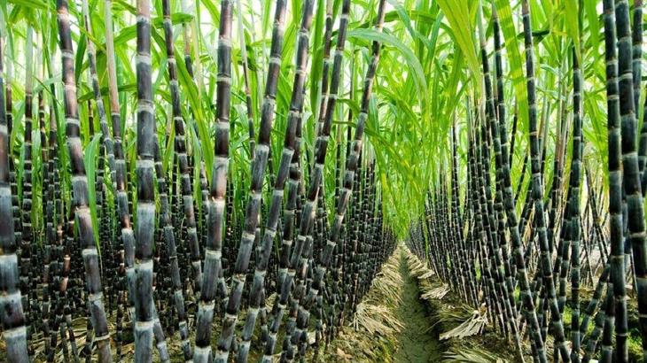 Để mía đường phát triển bền vững