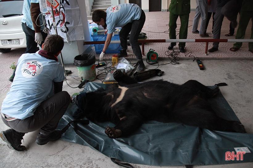 Con gấu ngựa nặng 140 kg Công an Hà Tĩnh phát hiện trong taxi được xử lý thế nào?
